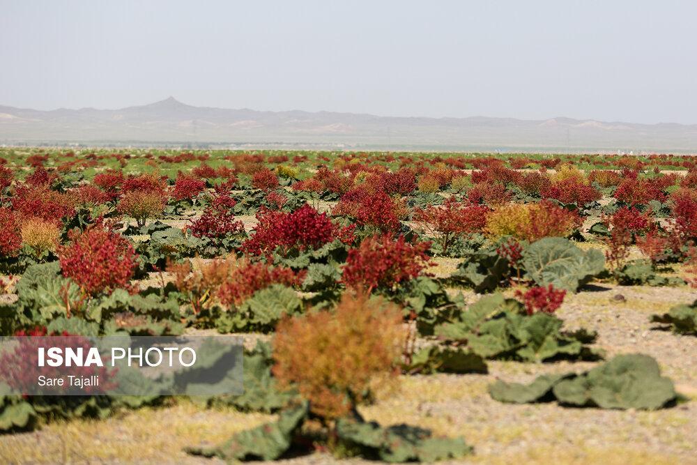 تصاویری از دشت های گیاه ریواس