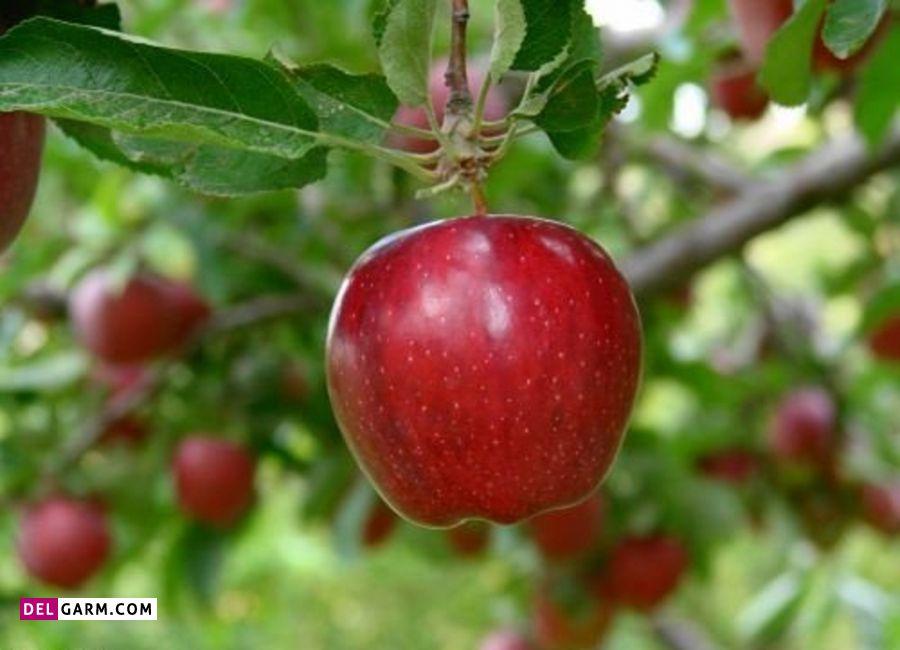 سیب دماوند