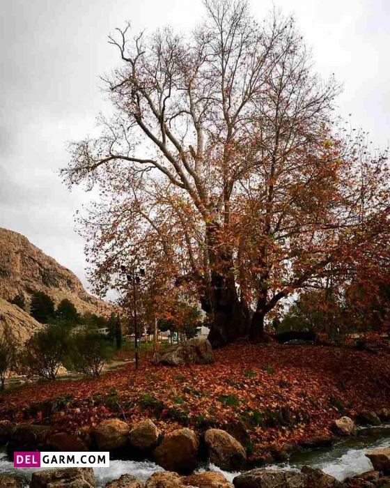 درخت رحمت از آثار طبیعی کرمانشاه