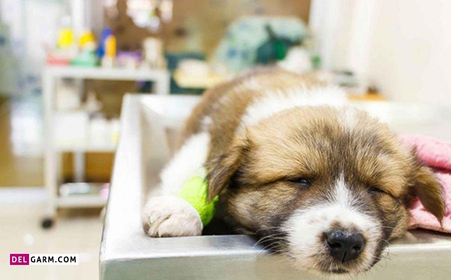 درمان  توده های پستانی در سگ ها و گربه ها