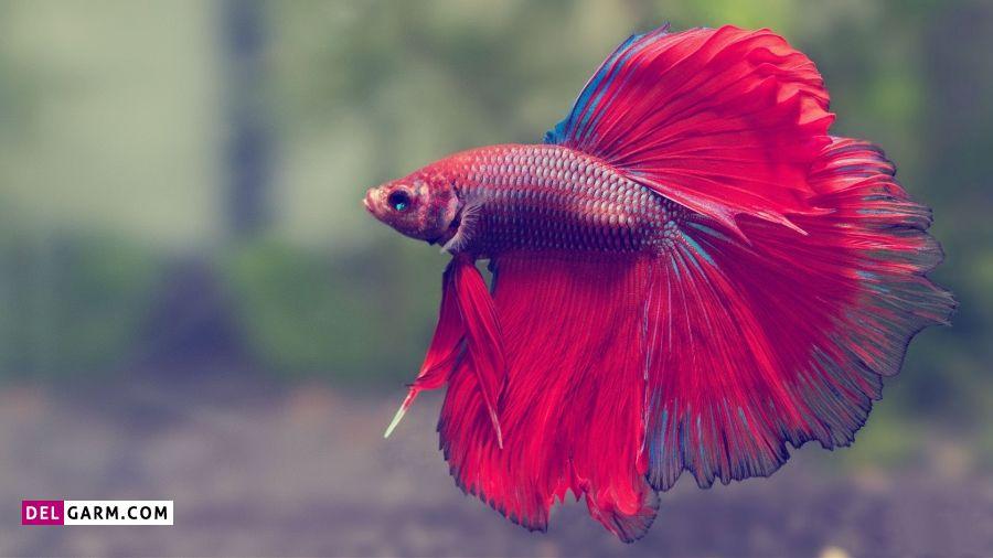 Betas fish