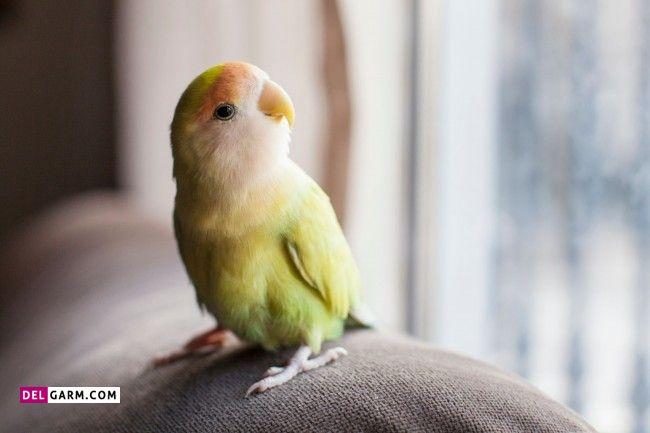 پرنده سخنگو پاراکیت طوقه دار هندی