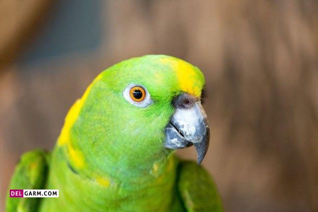 پرنده سخنگو آمازون تاج زرد