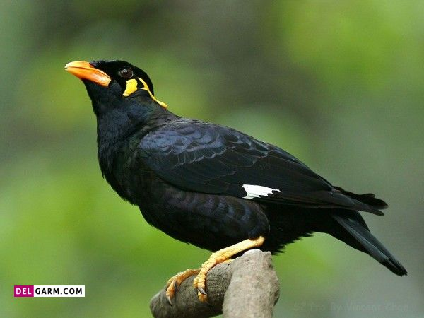 پرنده سخنگو مینا