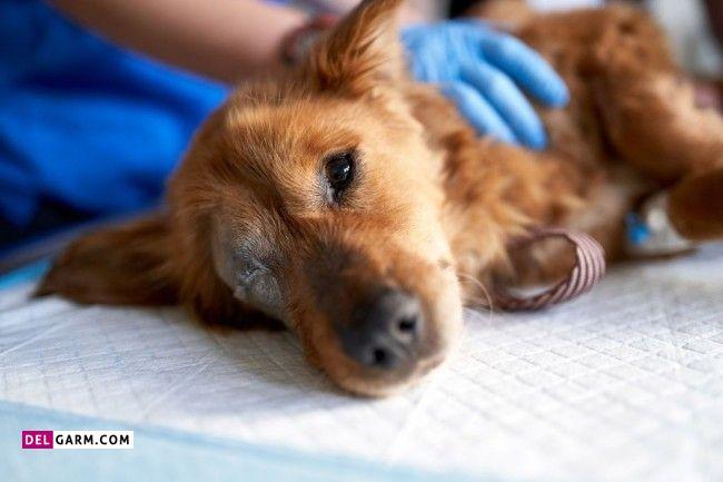 درمان معده درد در سگ ها