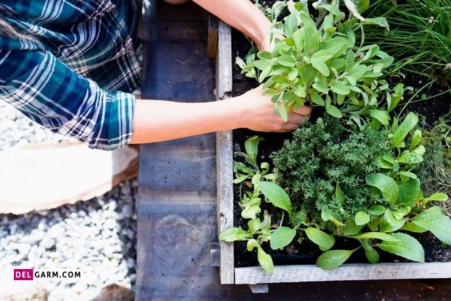 گیاه دارویی تریفالا