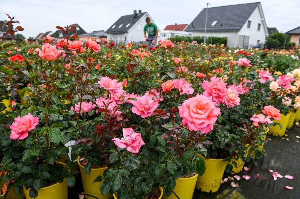 تقویت گل رز