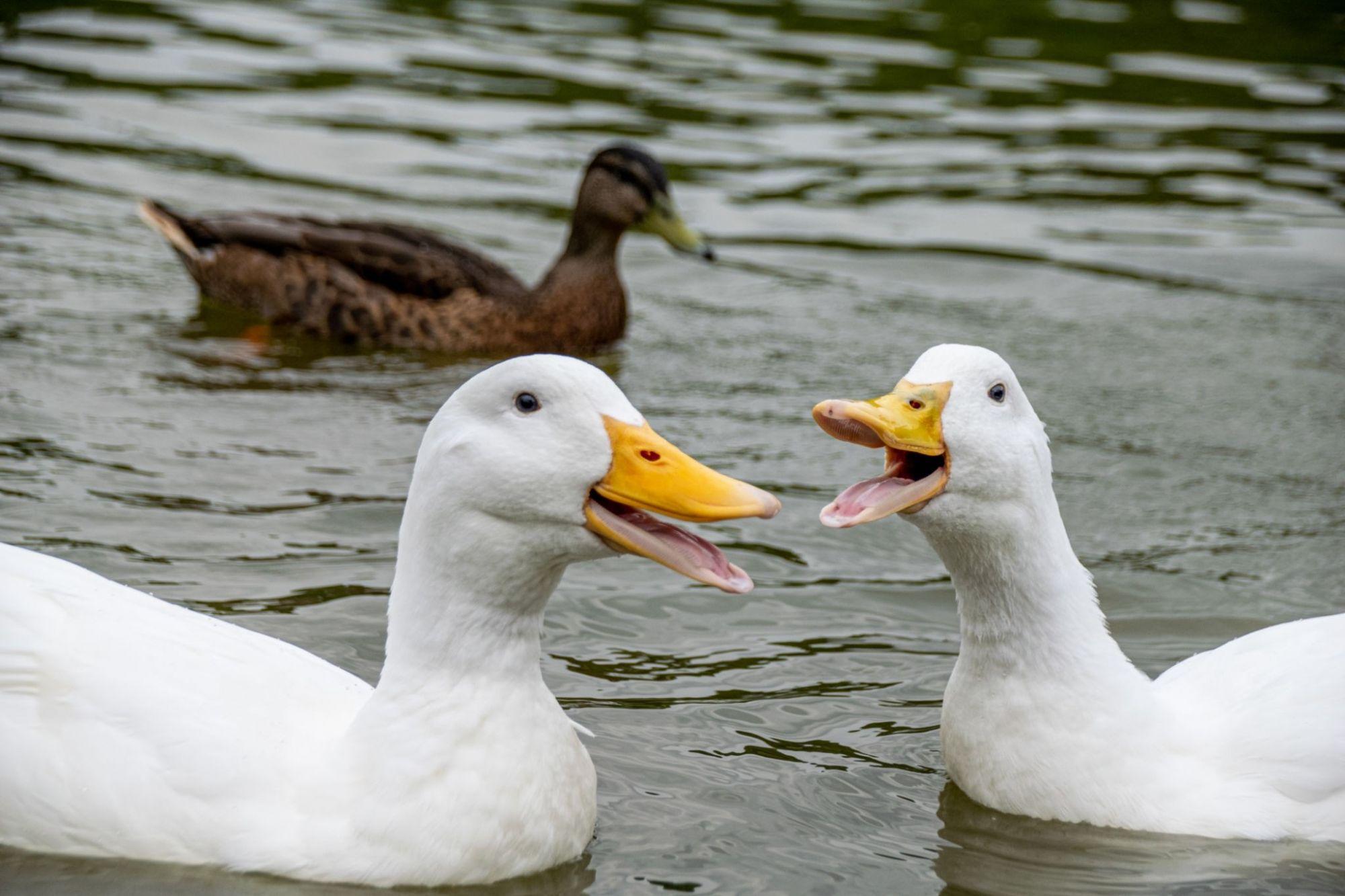 شرایط نگهداری از جوجه اردک