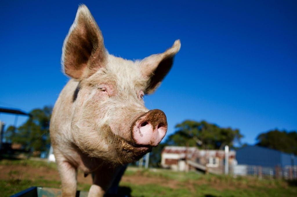 خواص و مضرات مصرف گوشت گراز حلال است یا حرام