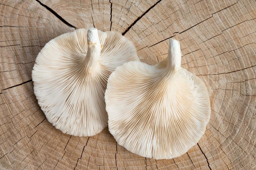 قارچ صدفی (گونه)
