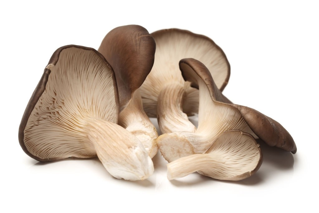 انواع قارچ صدفی
