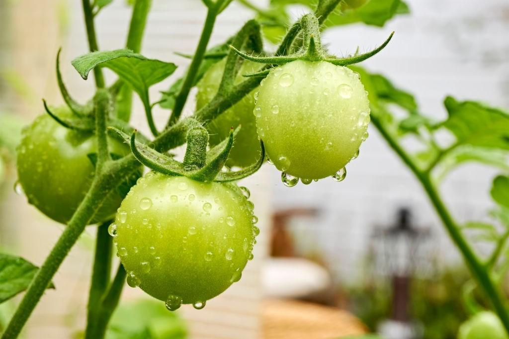 جلوگیری از سبز شدن گوجه