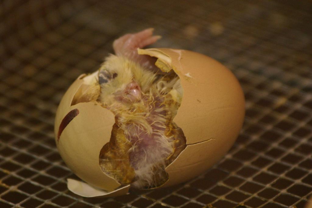 علت مرگ جوجه در تخم