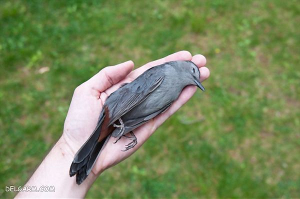 چرا پرنده ام  مرد  علت مرگ ناگهانی پرنده التهاب هرپسی کبد و طحال است(بیماری پاچکو)
