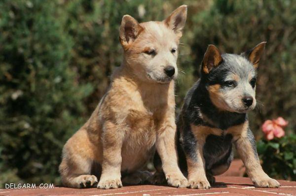 عکس (تصویر) آشنایی با سگ نژاد استرالیان کتل داگ