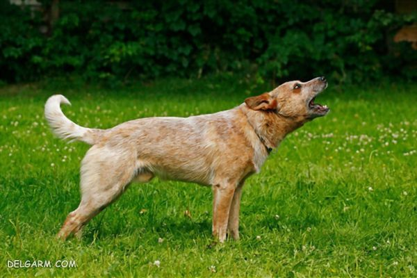 نحوه مراقبت و نگهداری از سگ گله نژاد استرالیان کتل داگ