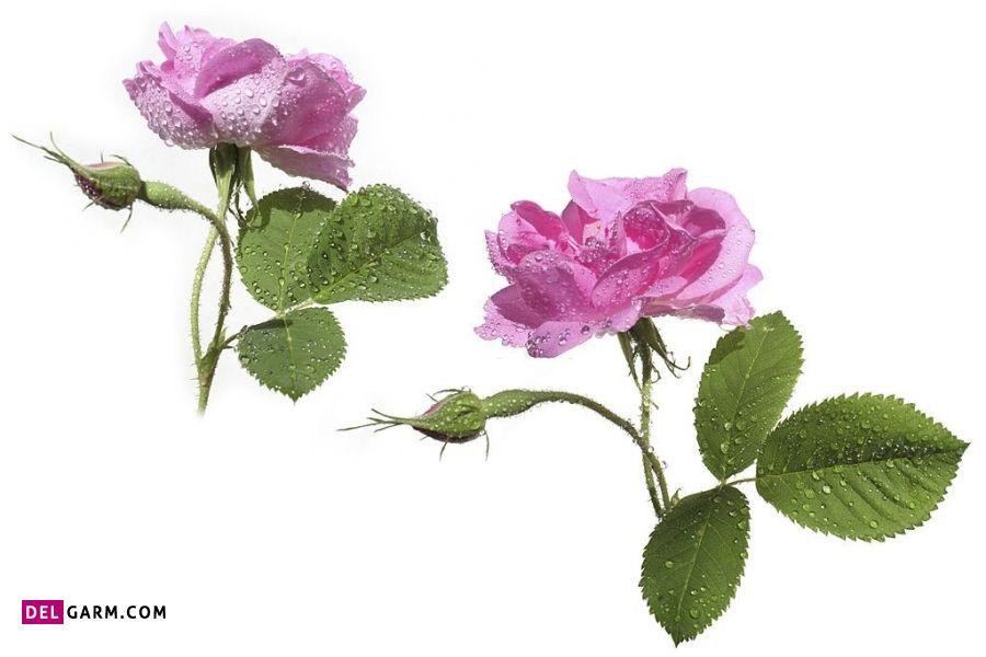 عوارض گل محمدی در مردان
