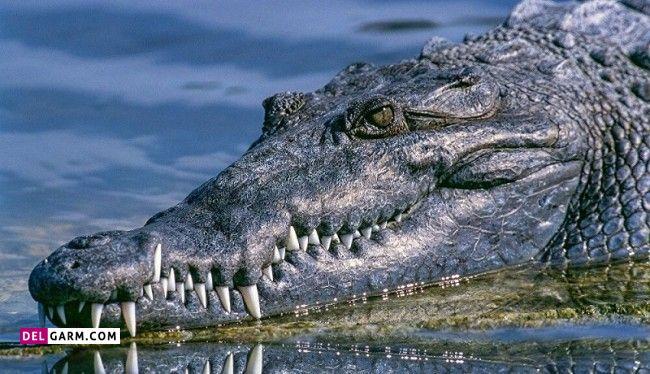 فرق تمساح و کروکودیل