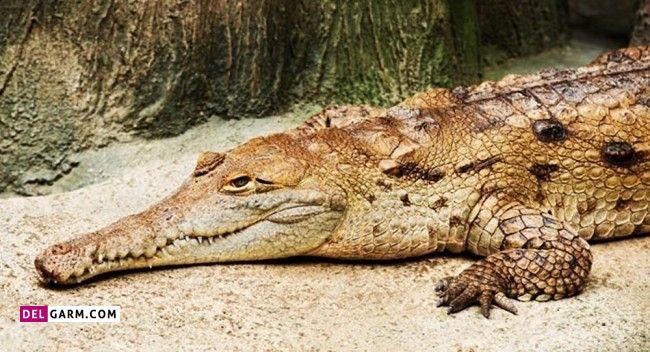 آیا تمساح و کروکودیل با هم فرق دارند