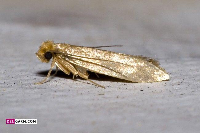 حشراتی که فرش را میخورند