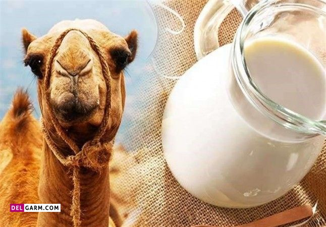 فرق شیر شتر با شیر گاو