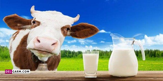 تفاوت شیر شتر با شیر گاو