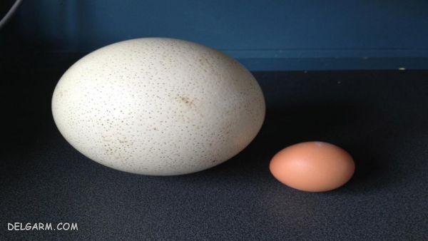 تخم شترمرغ | خواص تخم شترمرغ | نیمرو شترمرغ