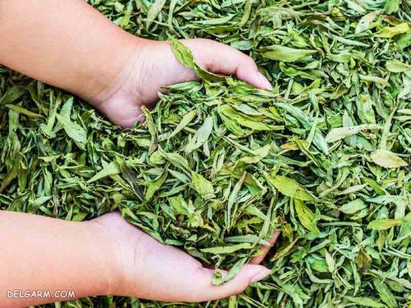 خواص شیرین برگ | شکر برگ از کجا بخریم | شیرین کننده استویا دوبیس | مضرات گیاه استویا | شیرین برگ