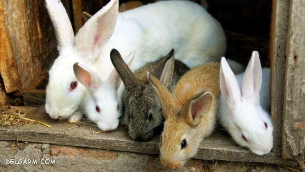 بارداری خرگوش ها