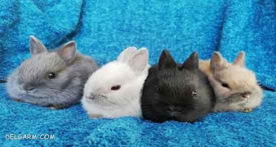 باردار شدن خرگوش