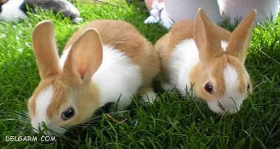 بارداری خرگوش