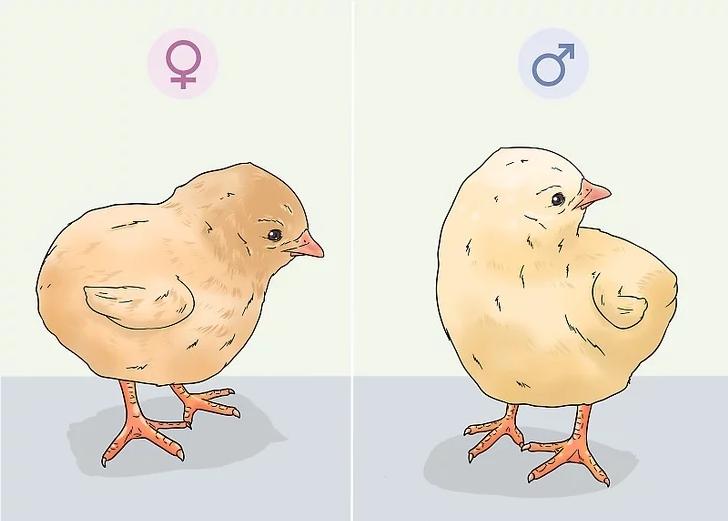 تشخیص جنسیت جوجه مرغ و خروس / چگونه نر یا ماده بودن جوجه را تشخیص دهیم