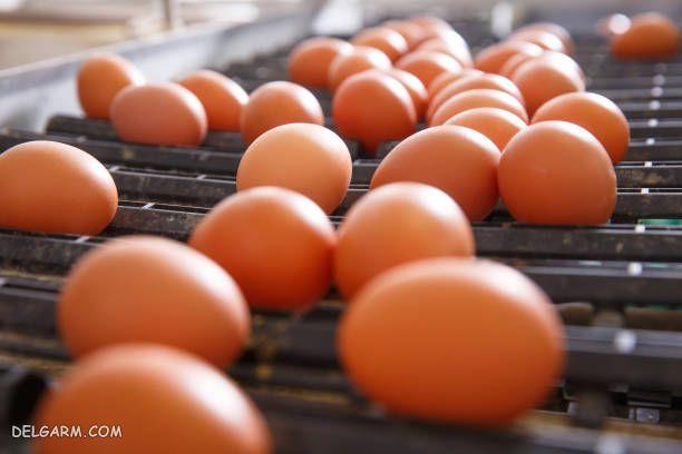 بهترین نژاد مرغ تخمگذار