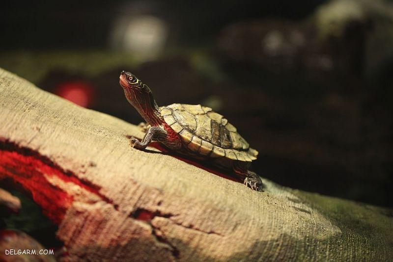 بچه لاک پشت قرمز