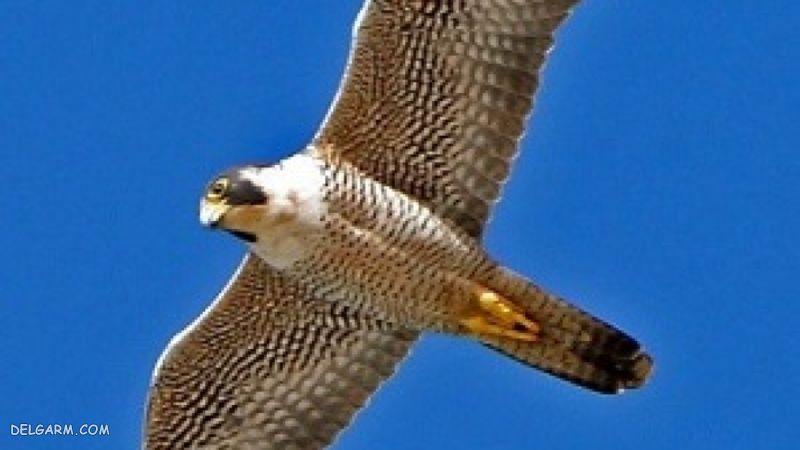 Falcon bird - پرنده شاهین