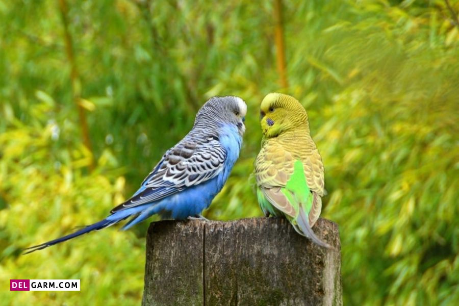 صدای مرغ عشق