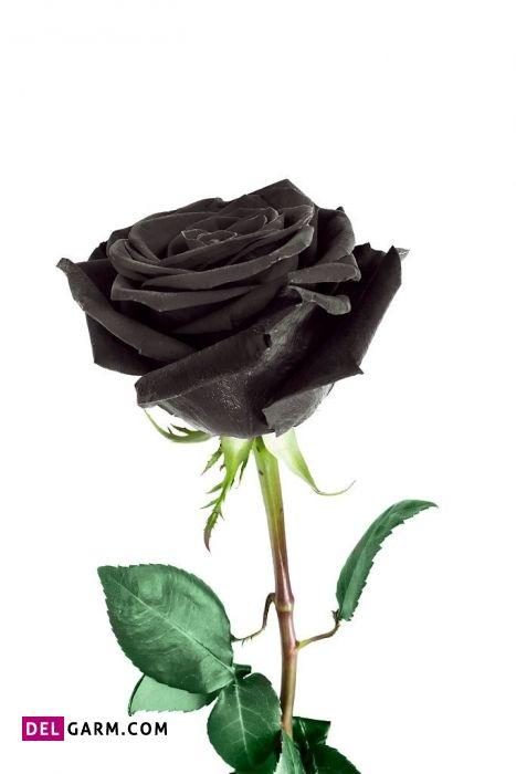 نماد گل رز