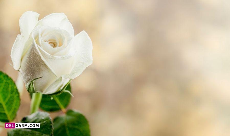 گل رز به معنای چیست