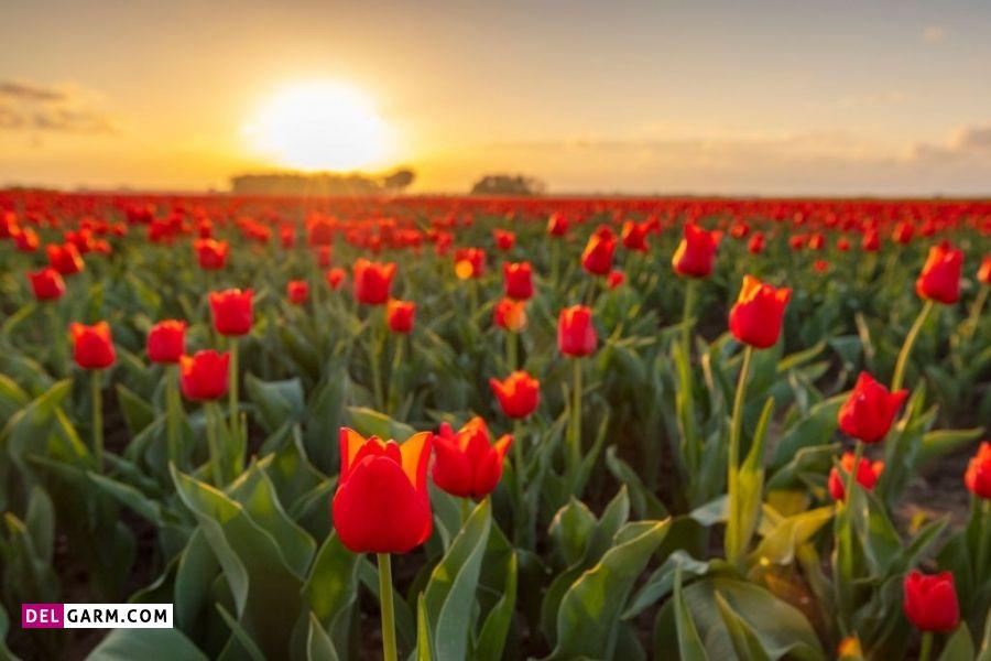 گل لاله نماد چیست
