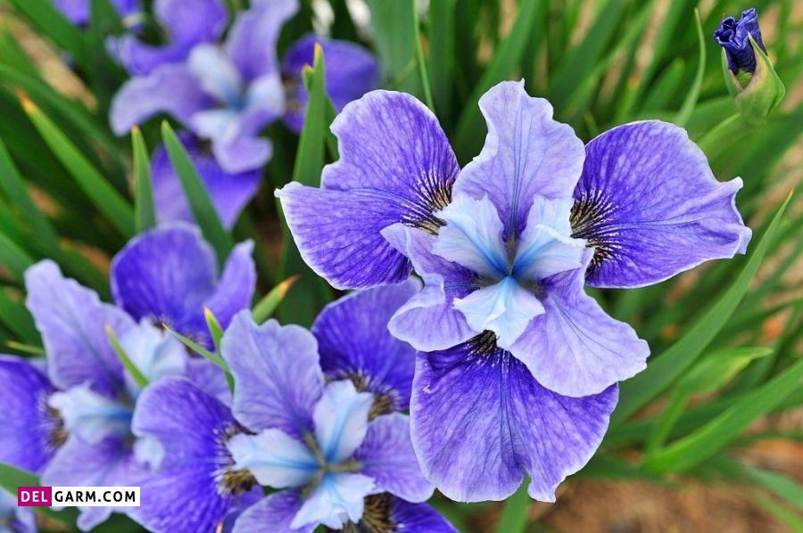 گل زنبق نشانه چیست