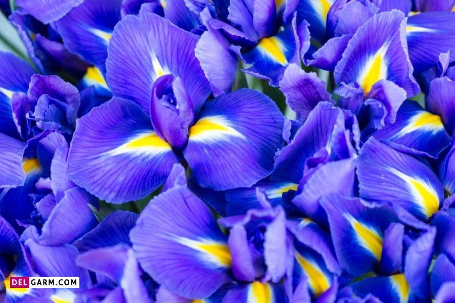 گل زنبق نماد چیست