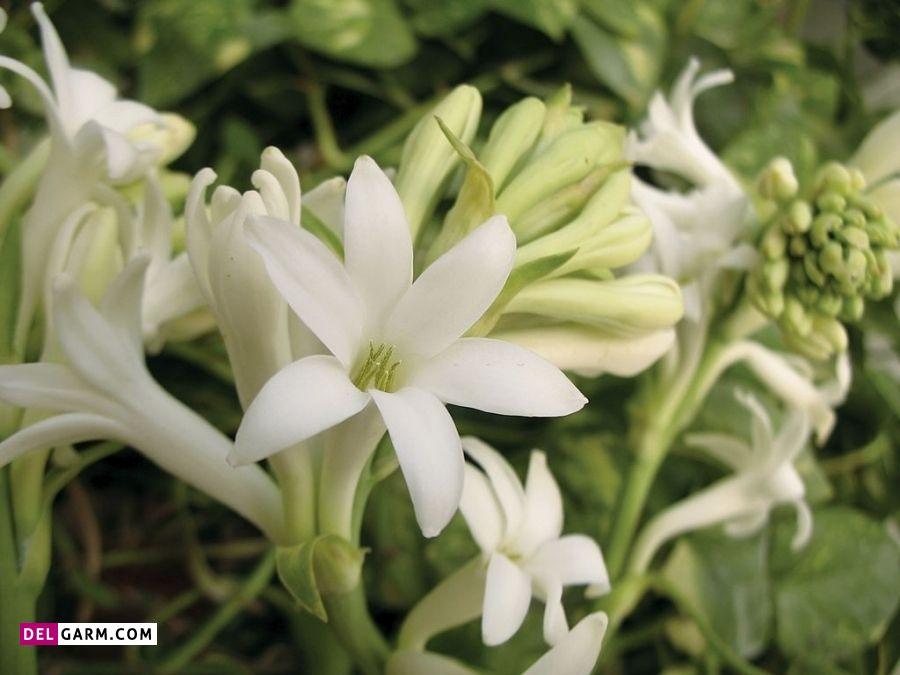 گل مریم نشانه چیست