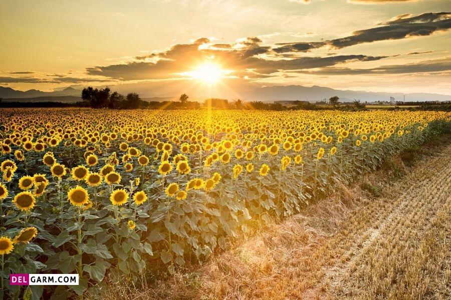 نماد گل آفتابگردان