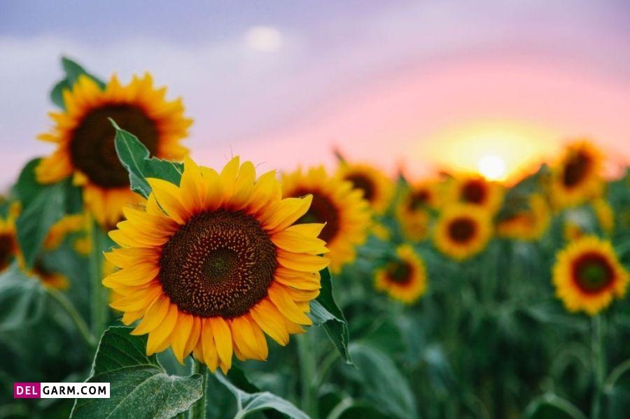 گل آفتابگردان نشانه چیست