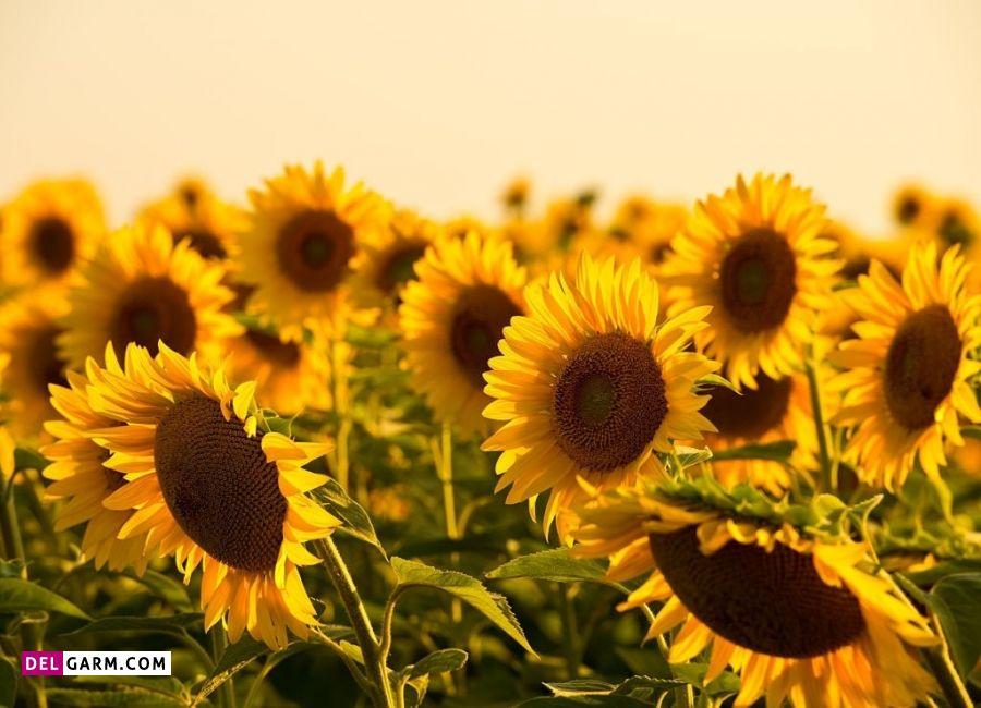 گل آفتاب گردان نماد چیست
