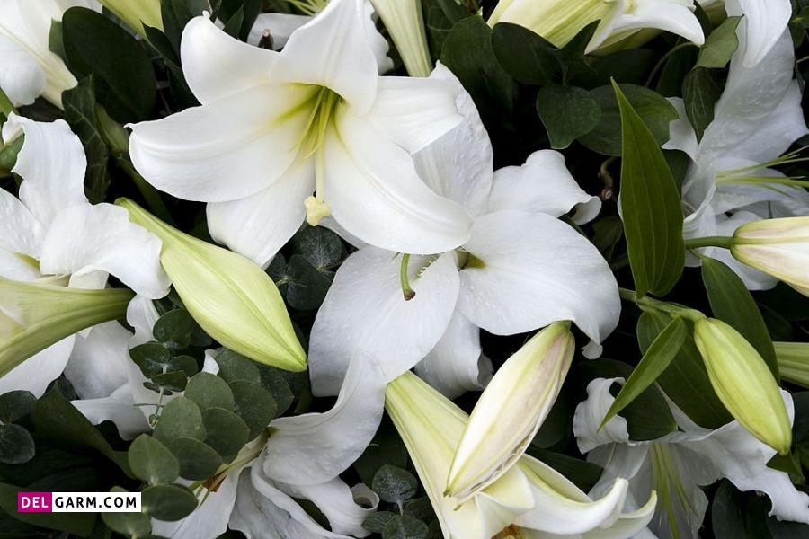 گل سوسن سفید نشانه چیست