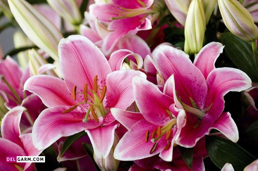 گل سوسن صورتی نشانه چیست