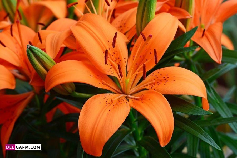 گل سوسن نارنجی نشانه چیست