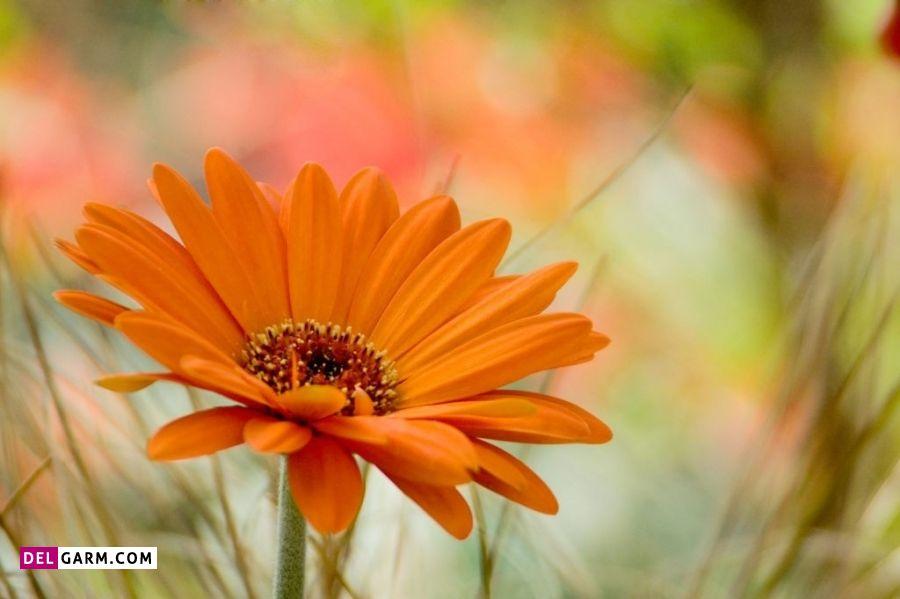 نماد گل ژربرای نارنجی