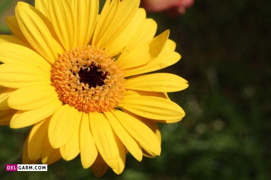 نماد گل ژربرای زرد